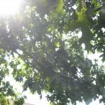 sun thru Es tree